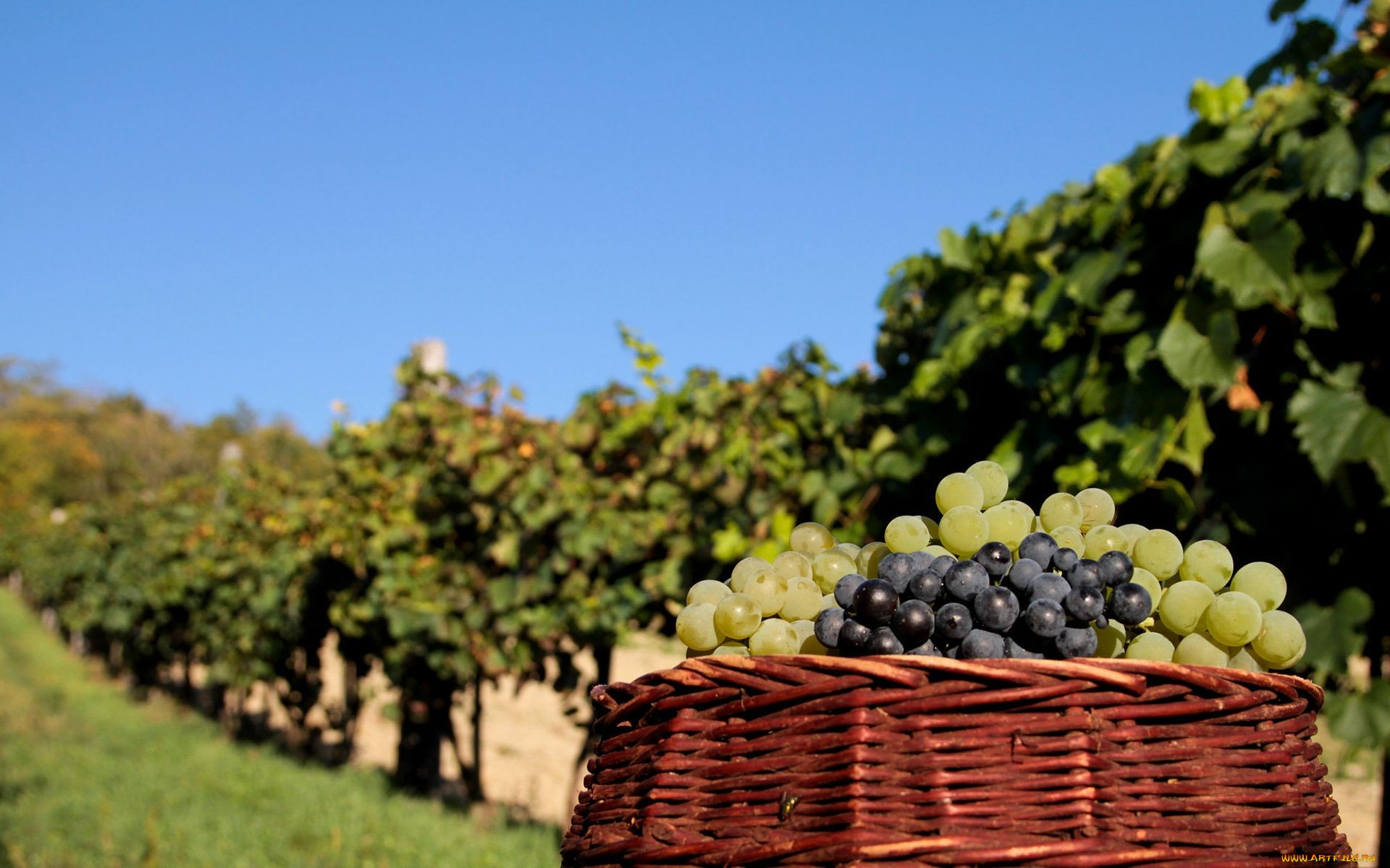 grapes-13