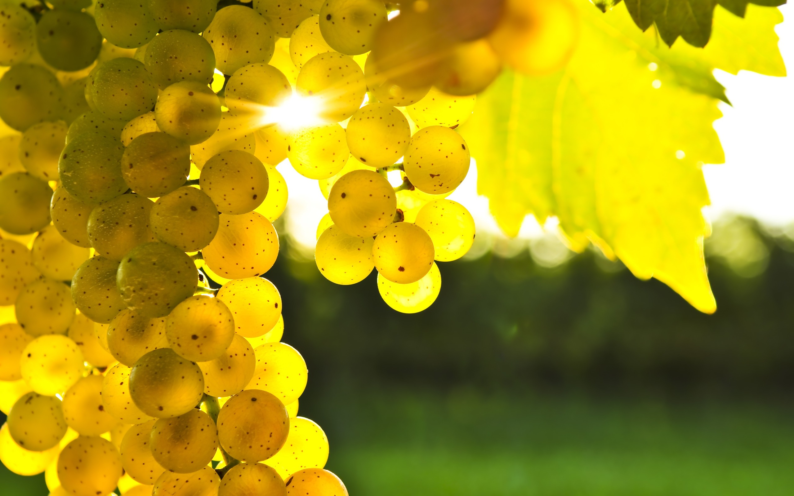 68707073-grapes-wallpapers