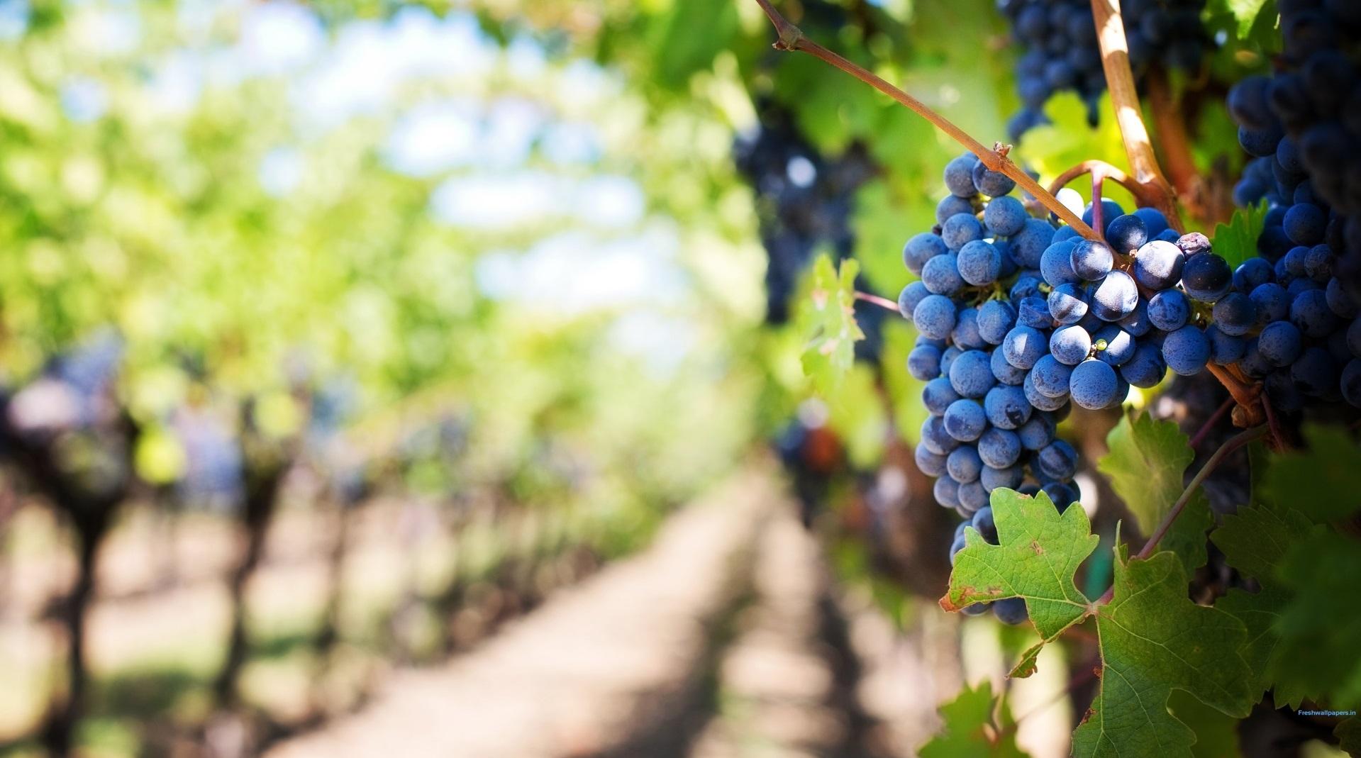 ripe_grapes_in_vineyard-1920x1200